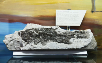 Fish fossil from the Bugaldie Diatomaceous Earth (chalk) Mine north of Coonabarabran (now closed)