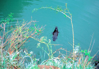 A platypus in the Blue Lake, a dam that was built near the Great Arch to facilitate the hydroelectric scheme