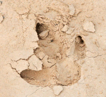 Kangaroo tracks are well formed in the firm sand